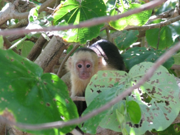 white faced monkey, montezuma, costa rica, capuchin