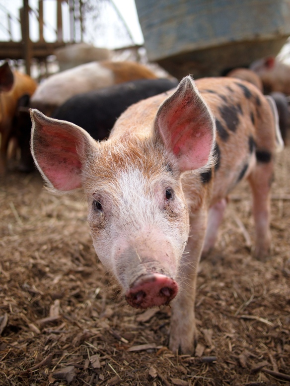 Polyface Farm, organic pork, Joel Salatin