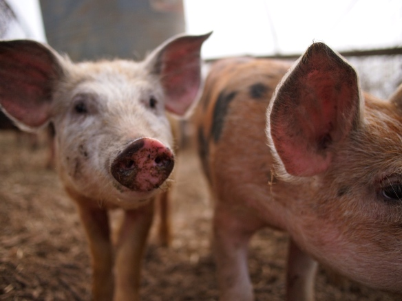 Polyface farm, Joel Salatin, organic pork