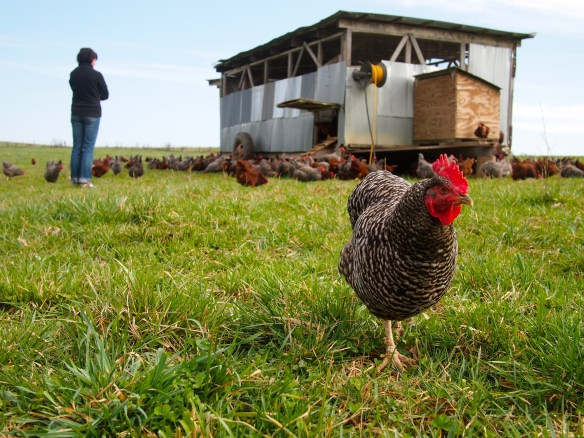 Polyface Farm, organic eggs, organic chickens, Joel Salatin