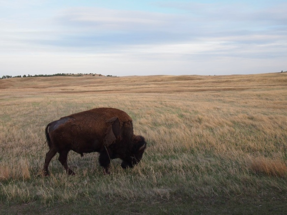 Wind Cave, SD, buffalo, bison