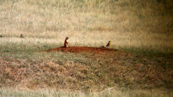 Prairie Dog, Robin, Wind Cave