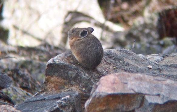 Pika, Grand Tetons, Grand Teton National Park