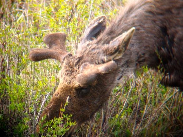 Moose, Grand Tetons, Grand Teton National Park