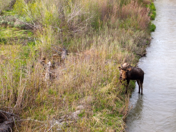 Moose, Grand Tetons