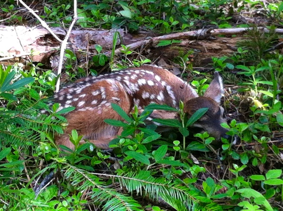 fawn, camouflaged fawn, baby deer